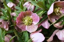 Purple Hellebore Flowers Of Th...