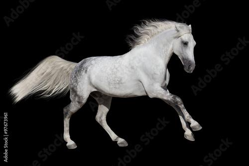 Fototapety, obrazy: Horse with long mane isolated on black background