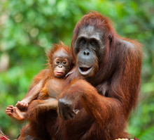Portrait Of A Female Orangutan With A Baby. Indonesia. The Island Of Kalimantan (Borneo). An Excellent Illustration.