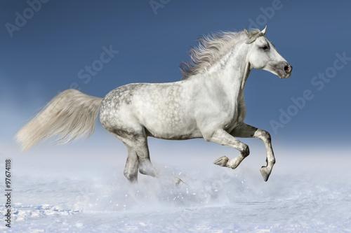 Horse run gallop in snow Canvas Print