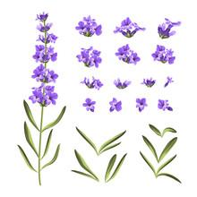 Set Of Lavender Flowers Elements.
