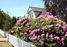 Rhododendron Plant In The Gard...