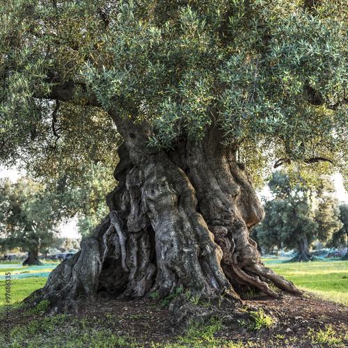 stare-drzewo-oliwne-apulia-wlochy-2