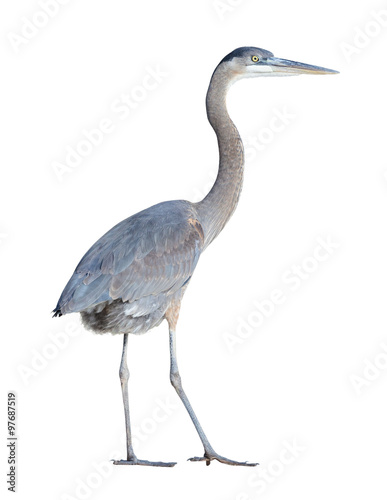Photo Great Blue Heron with Clipping Path