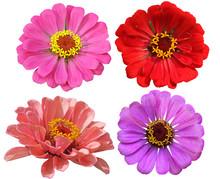 Zinnias Flower Set