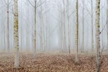 Bosque De Chopos Canadienses Entre La Niebla. Populus Canadensis.