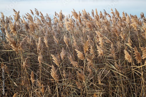 Fotografie, Obraz  Thickets of dry reeds in the late autumn