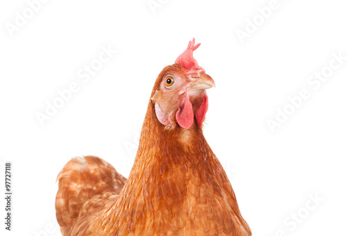 Photo sur Toile Poules brown chicken hen standing isolated white background use for far