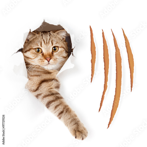 Fotobehang Kat Funny cat in torn wallpaper hole with claw cuts isolated