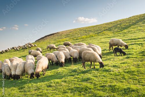 Foto op Canvas Schapen Flock of sheep grazing