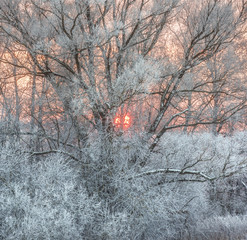 Panel Szklany Las Hoarfrost on branches. Evening. Pink sunset