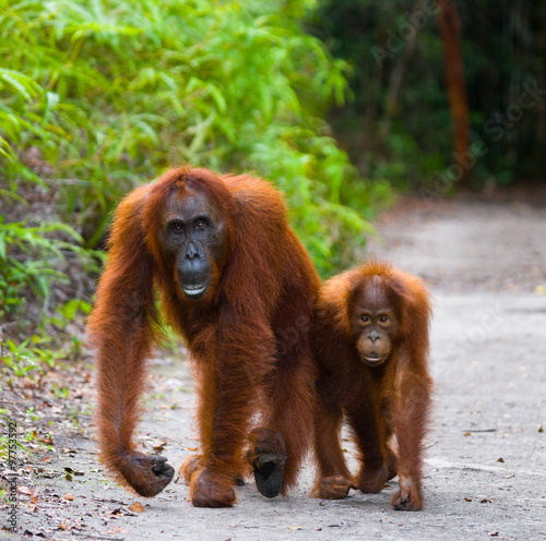 Foto op Aluminium Indonesië The female of the orangutan with a baby on a footpath. Funny pose. Rare picture. Indonesia. The island of Kalimantan (Borneo). An excellent illustration.
