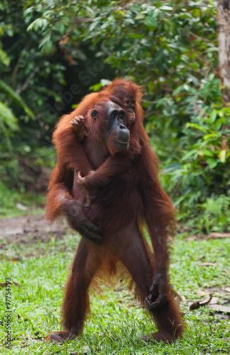 In de dag Aap Female orangutan with a baby in the wild. Indonesia. The island of Kalimantan (Borneo).