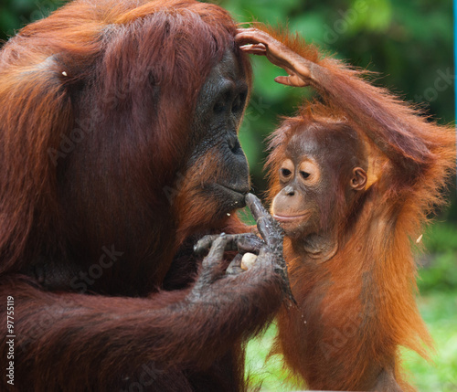Female orangutan with a baby in the wild. Indonesia. The island of Kalimantan (Borneo). An excellent illustration.