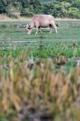 Obraz na płótnie Canvas Thai buffalo is grazing in a field