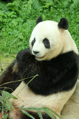 Recess Fitting Panda Giant panda feeding on bamboo