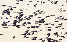 Tadpoles Group In The Water, N...