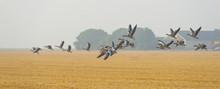 Flock Of Flying Geese In Summer
