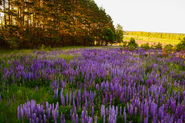 Fototapeta Wiejski Lupine Meadow