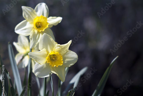 Papiers peints Narcisse Daffodil flowers in Spring