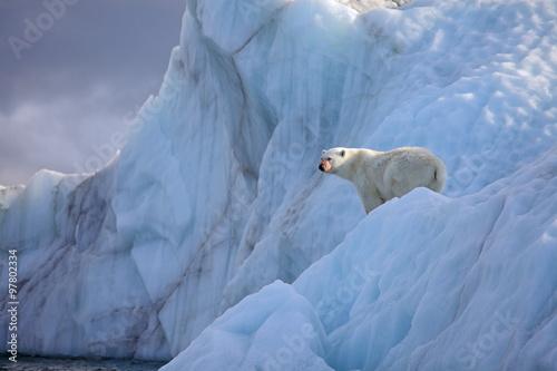 Recess Fitting Polar bear Polar bear in natural environment