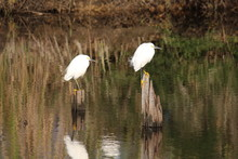 Two Snowy Egrets On Stumps In A Marsh