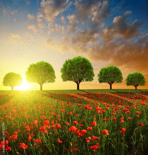 Obraz Wiosenny pejzaż z czerwonymi polami maków o zachodzie słońca - fototapety do salonu
