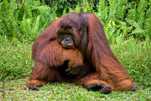 Wall Murals Ostrich Dominant male orangutan sitting on the ground. Indonesia. The island of Kalimantan (Borneo). An excellent illustration.