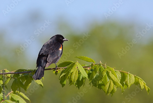 Fotografie, Obraz  Red-winged Blackbird