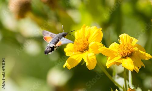 Fotobehang Bloemen Sphingidae, known as bee Hawk-moth, enjoying the nectar of a yellow flower. Hummingbird moth. Calibri moth.