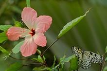 Butterfly Idea Leuconoe And Pink Hibiscus Flower In Botanical Garden, Prague, Czech Republic