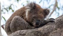 Koala Bear Sitting In A Tree, Kennett River, Victoria, Australia