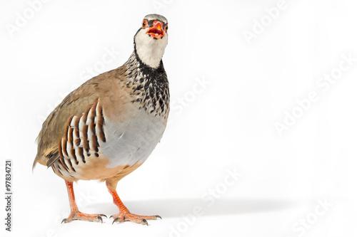 Canvas Print Wildlife studio portrait: Red-legged partridge looking to camera