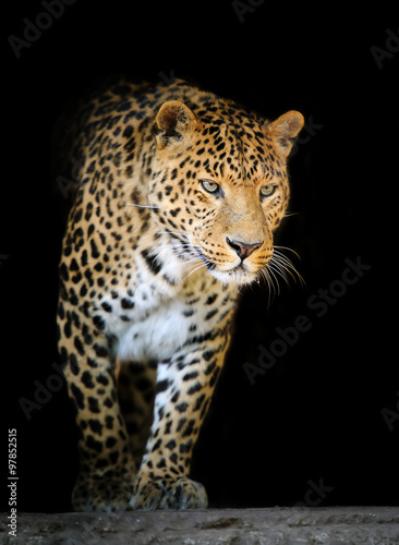 Leopard portrait on dark background #97852515