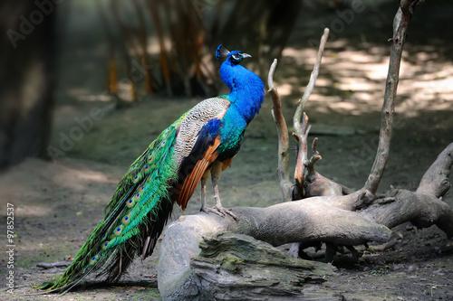 Foto op Aluminium Pauw Peacock on branch