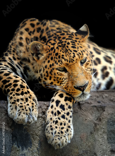 Leopard portrait on dark background #97852542