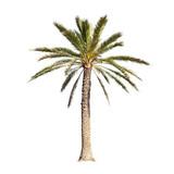 Palm tree isolated on white background - 97866106