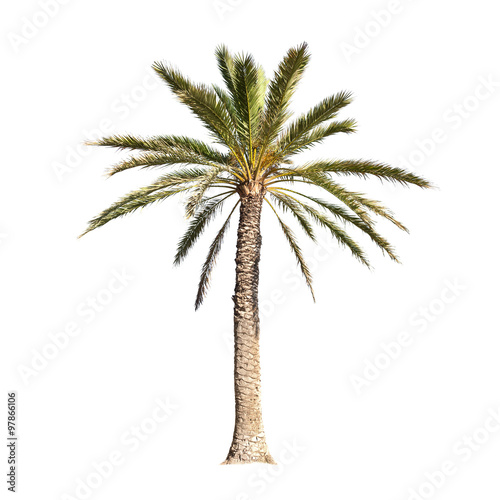 Palm tree isolated on white background Wall mural