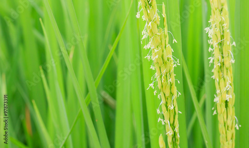 In de dag Bamboo rice flower
