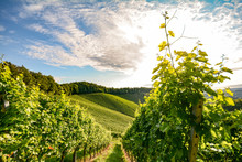 Vine In A Vineyard In Autumn - White Wine Grapes Before Harvest