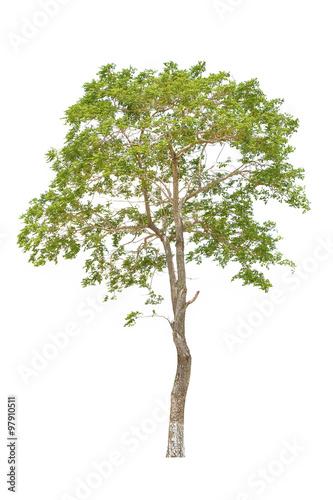 Fotografia, Obraz  Tree isolated on a white background