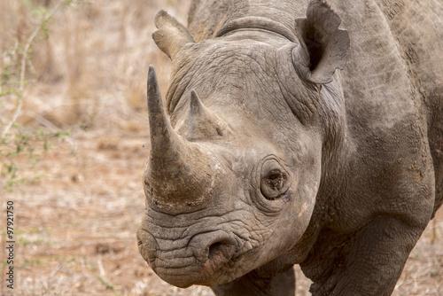 Poster Rhino Black rhinoceros portrait