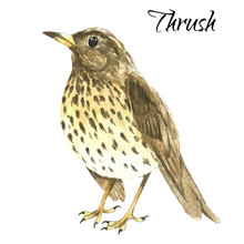 The Thrush Stand On White Background