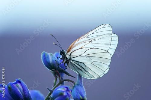 белая бабочка на синем цветке - 97937338