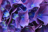 Detail of blue hydrangea flower and petals in bloom