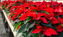 Red Poinsettias Ready For Sale...