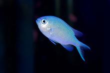 Blue Green Chromis Damsel Fish...
