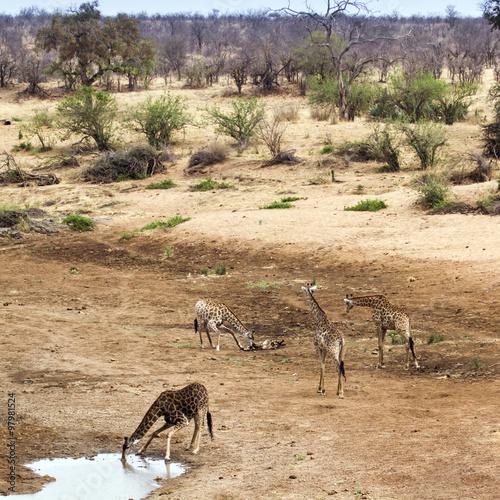 Giraffe in Kruger National park Poster