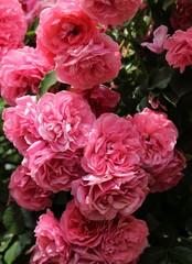 Obraz na Szkle Róże Pink roses.