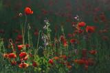 Fototapeta Kwiaty - Ostatni promień słońca